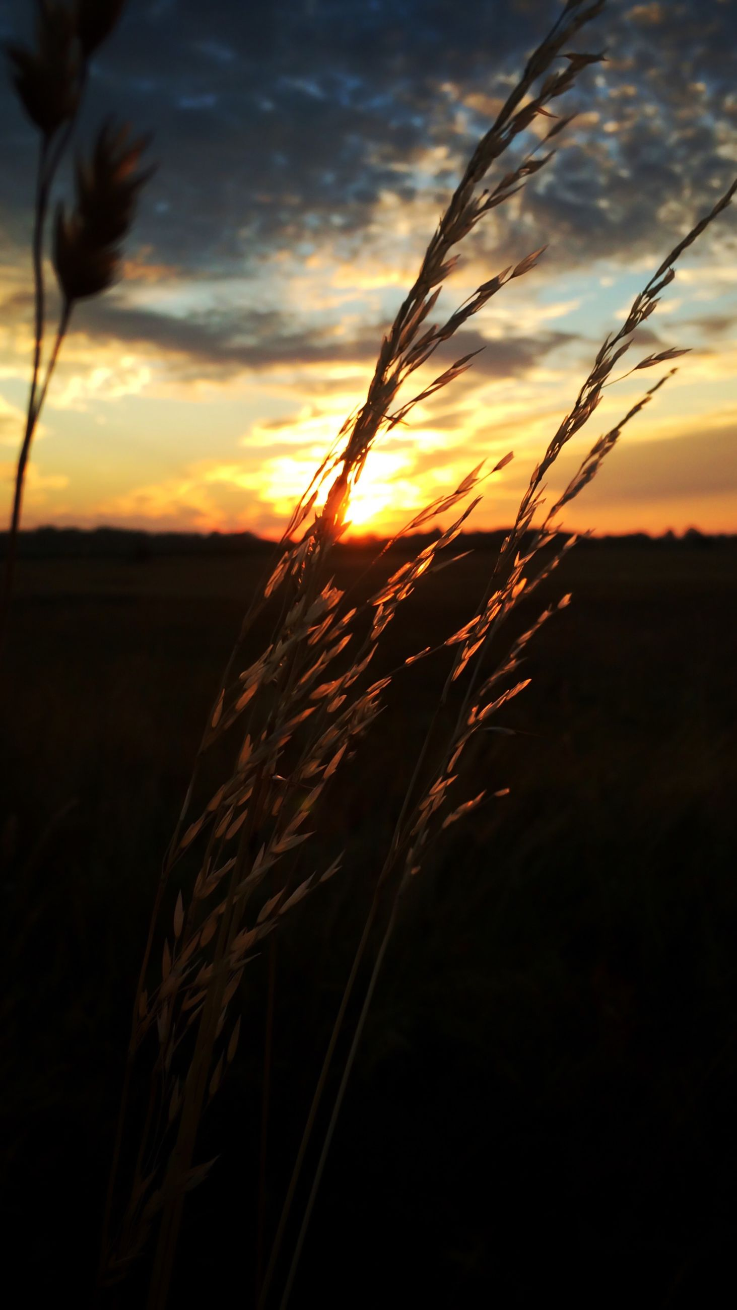 sunset, sky, beauty in nature, tranquility, nature, tranquil scene, scenics, plant, silhouette, growth, field, stalk, grass, cloud - sky, cloud, orange color, close-up, focus on foreground, idyllic, landscape