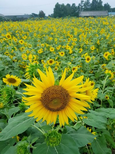 sunflowers in a cloudy day EyeEm Korea JEJU ISLAND  Travel Clouy Sky Springtime Petal In Bloom Flowering Plant