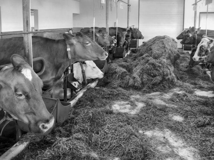 Bnw_friday_eyeemchallenge BNW_farm_animals Cows Agriculture Livestock Domestic Animals