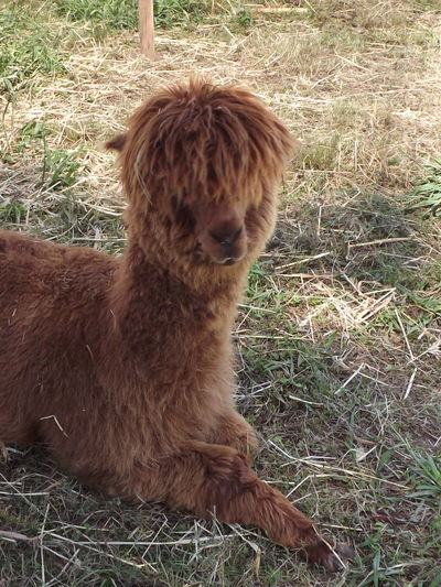Alpaca Animal Animal Hair Animal Head  Animal Themes Brown Close-up Day Outdoors Relaxation No Filter, No Edit, Just Photography