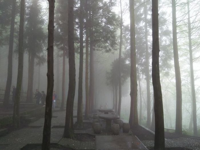 Fog Tree Forest