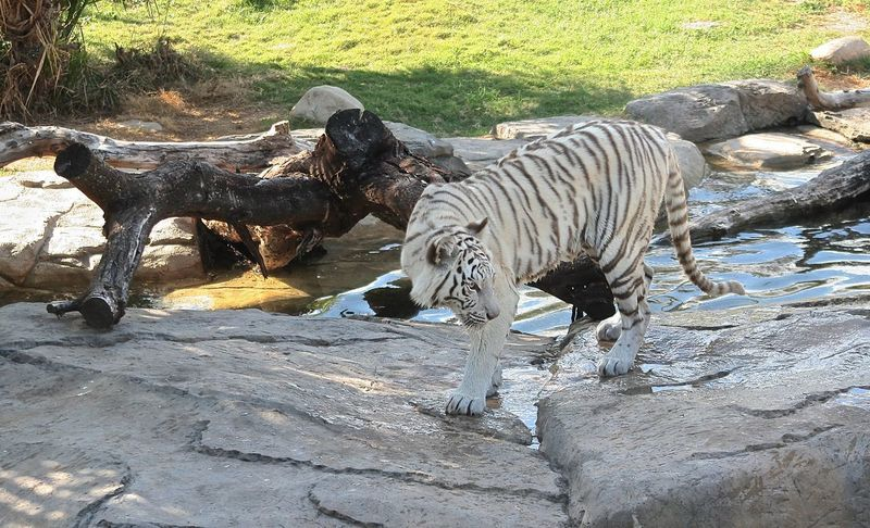 Animal Themes Animals In The Wild Beauty In Nature BeNGaL TiGeR BeNGaL TiGeR Bird Day Elephant Field Forest High Angle View Lake Nature No People Outdoors Rock - Object South Africa Is Amazing Standing Sunlight Tiger Two Animals Water Wildlife Withe Tiger Zoo
