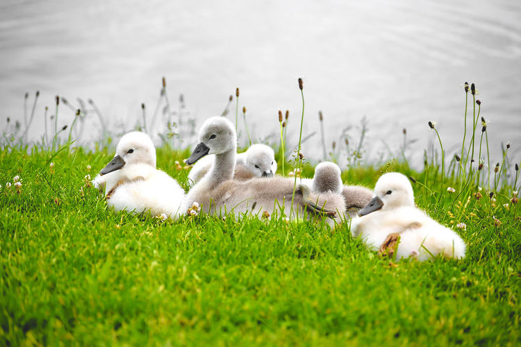Ducks on grassy field by lake