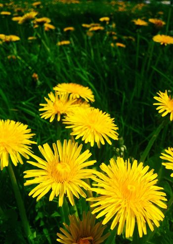Flower Fragility Freshness Flower Head Nature Yellow Plant Outdoors Day Petal No People Close-up Blooming Grass Springtime Field Beauty In Nature Dandelion In Spring Dandelion Close-up Dandelion Flowers Dandelion Field
