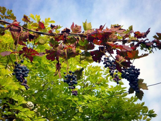 Autumn Beauty In Nature Branch Close-up Day Freshness Fruit Growth Leaf Low Angle View Nature No People Outdoors Plant Tree Winegrapes