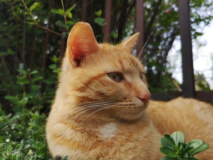 Pets Portrait Domestic Cat Feline Close-up Big Cat