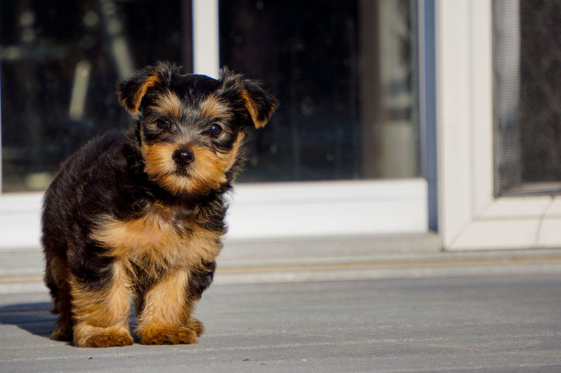 Portrait of yorkshire terrier puppy in back yard