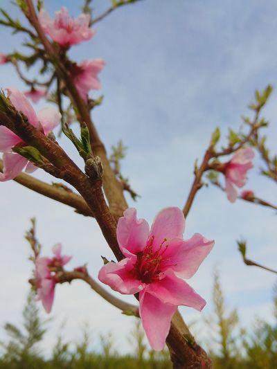 Flower Power Spring Springtime Flower Peach Peach Flower Head Flower Tree Branch Springtime Pink Color Petal Blossom Plum Blossom Sky