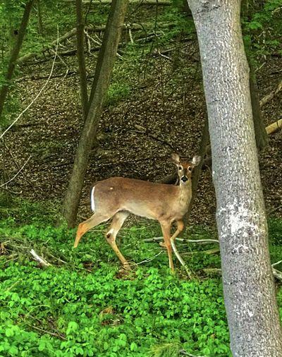 Deer staring