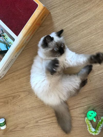 Pets Domestic Animals Indoors  Animal Themes Hardwood Floor High Angle View Domestic Cat One Animal Mammal Home Interior Wooden Floor No People Day Close-up Himalaya Himalayan Cat Cat New Cats Of EyeEm Istanbul Nature Animal Wildlife Animals In The Wild World
