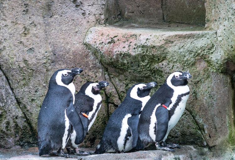 #beautifulbc #penguinsinarow #supernaturalBC #vancouveraquarium Animal Themes Bird Day Mammal No People Outdoors Penguin Togetherness