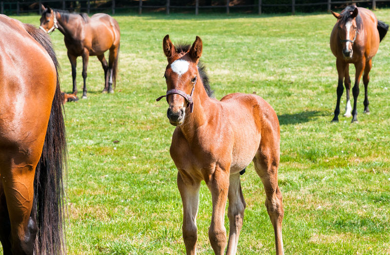 English Thoroughbred foal horse on the field. Baby Breeding English Thoroughbred English Thoroughbred Horse Farm Rural Animal Animal Wildlife Brown Day Domestic Domestic Animals English Equine Field Horse Land Mammal Nature No People Outdoors Thoroughbred Thoroughbredhorse Young Animal