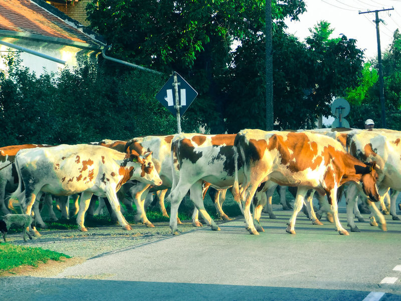 Cows Crossing The Street EyeEmNewHere Animal Themes Cattle Cattlefarm Cow Crossing Day Domestic Animal Domestic Animals Farm Animal Herd Herd Of Cows Livestock Mammal Nature No People Outdoors Tree