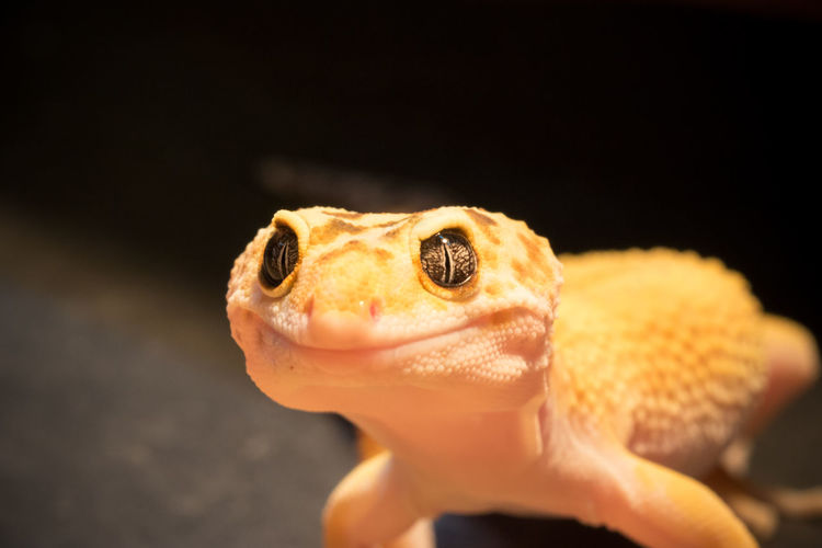 Close-up of leopard gecko