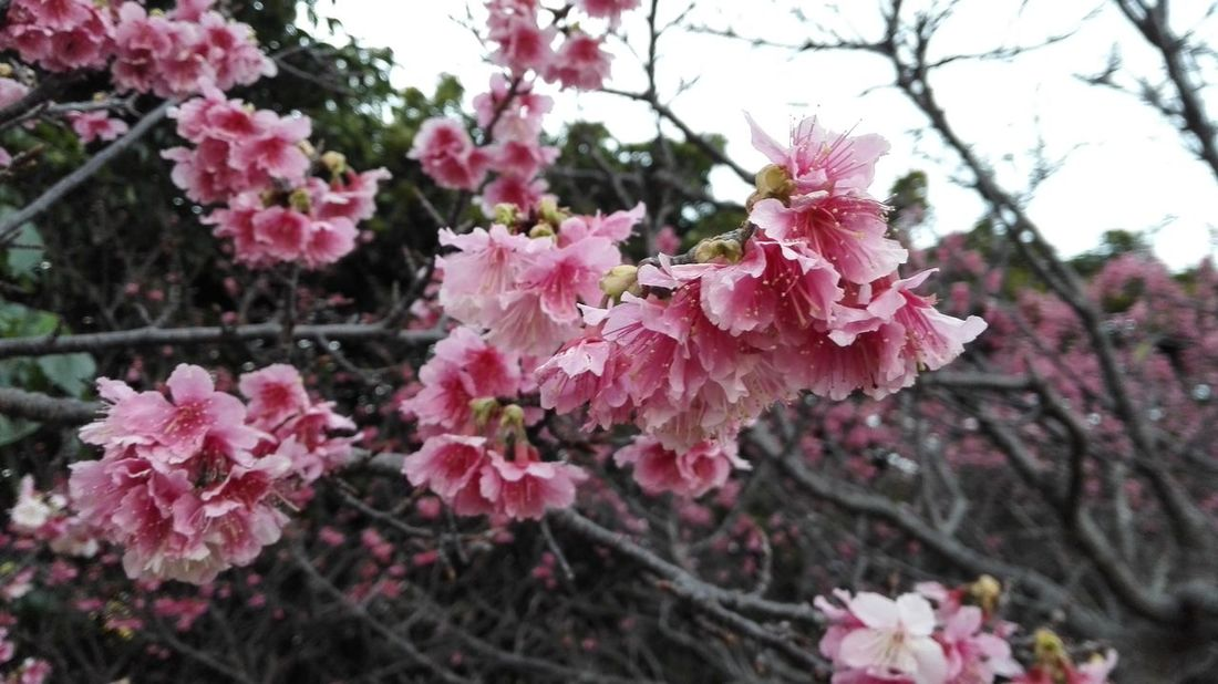 Japanese SAKURA from Okinawa Flower Fragility Tree Pink Color Growth Beauty In Nature Nature Blossom Branch Freshness No People Springtime Day Petal Outdoors Focus On Foreground Blooming Plum Blossom Plant Close-up