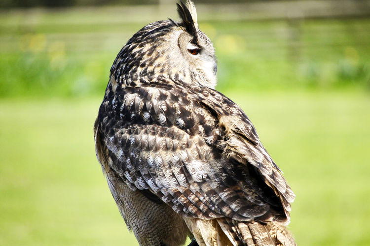 Close up photo of an owl in a field. Animal Animal Themes Animal Wildlife Animals In The Wild Bird Bird Of Prey Close-up Day Field Focus On Foreground Green Color Land Nature No People One Animal Outdoors Owl Owls Perching Plant Tree Vertebrate
