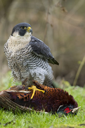 Close-up of sparrow hawk perching on dead animal