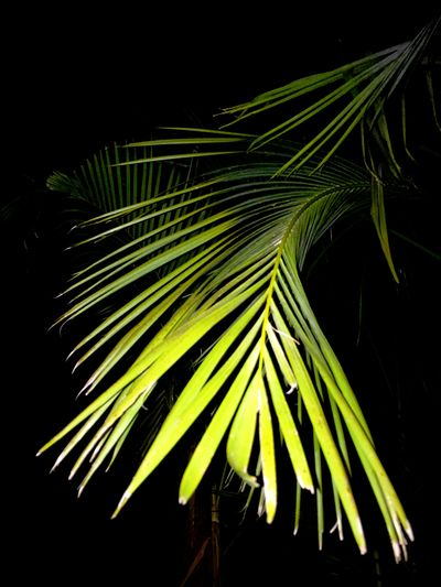 IPhoneography Iphonephotography Night Jungle Palm Trees Nightphotography in the jungle Palm Tree Leaf Green