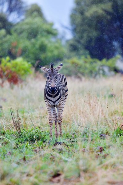 Little Zebra in the African rain Animals In The Wild Striped One Animal Animal Themes Mammal Animal Wildlife Zebra Day Grass Nature Field Safari Animals Walking Outdoors Animal Markings Standing Full Length No People Zebra Calves Young Animal Wildlife Photography Standing Wet Babyzebra Africananimals