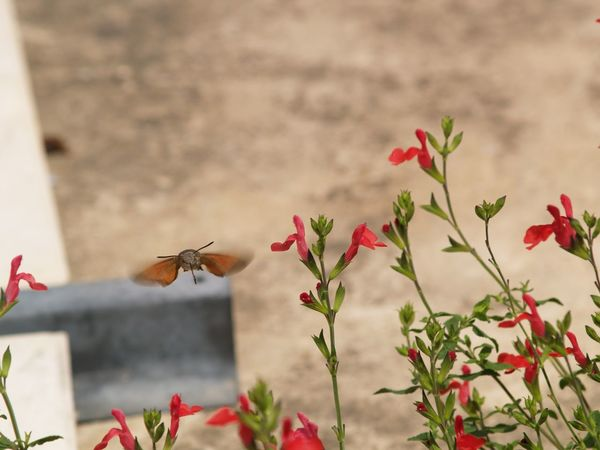 Hummingbird Hawk-moth (Macroglossum Stellatarum) Salvia Flowers Humming Hovering Insect One Animal Animal Themes Animals In The Wild Flower Nature No People Focus On Foreground Red Animal Wildlife Day Fragility Plant Growth Beauty In Nature Outdoors Close-up Buzzing Freshness