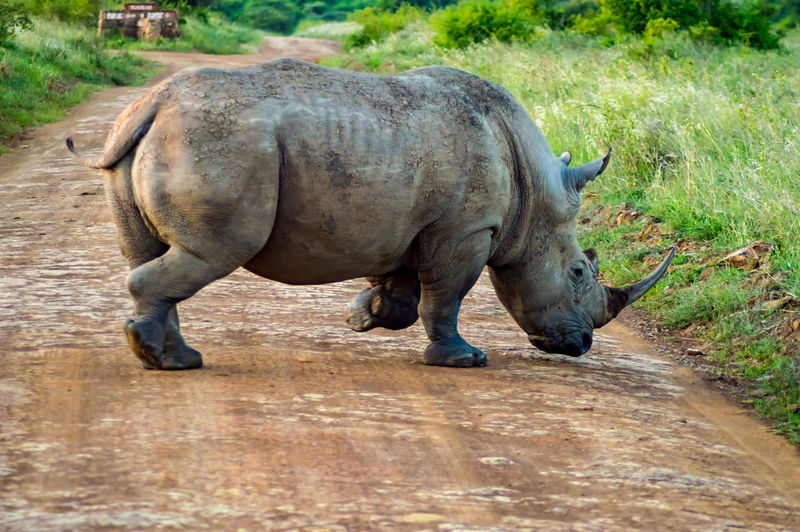 Mammal One Animal Animal Wildlife Animals In The Wild Rhinoceros Horned Herbivorous Nature Nairobi National Park Kenya African