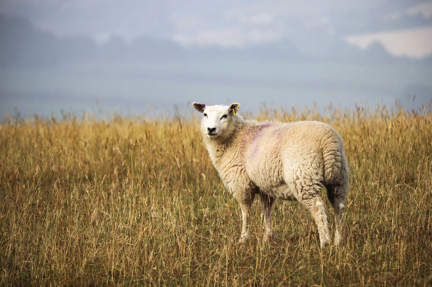 Sheep in the long grass. Devon Lamb Animal Animal Themes Day Domestic Domestic Animals Field Grass Herbivorous Lambs Land Livestock Looking At Camera Mammal Nature No People One Animal Pets Plant Portrait Sheep Standing Uk Vertebrate