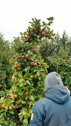 Apfelernte Zwanzig15