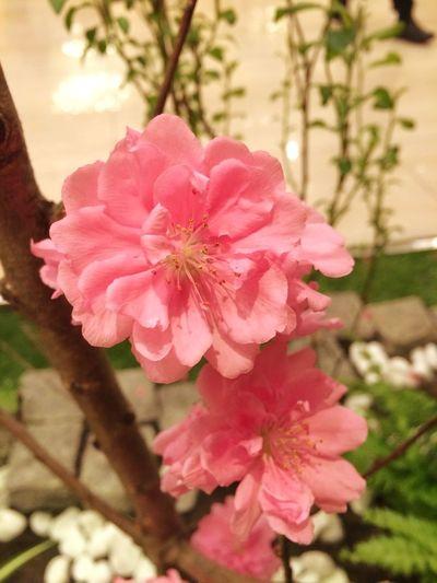 Peachblossom 桃の花 雛祭り ひなまつり