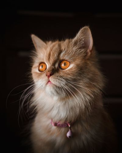 Beautiful Persian cat EyeEm Best Shots EyeEm Selects EyeEmNewHere EyeEm Nature Lover EyeEm Gallery Stringlights Low Light Tone Ambient Light Natural Light Pets Portrait Domestic Cat Looking At Camera Black Background Feline Close-up Persian Cat  Animal Hair Animal Eye