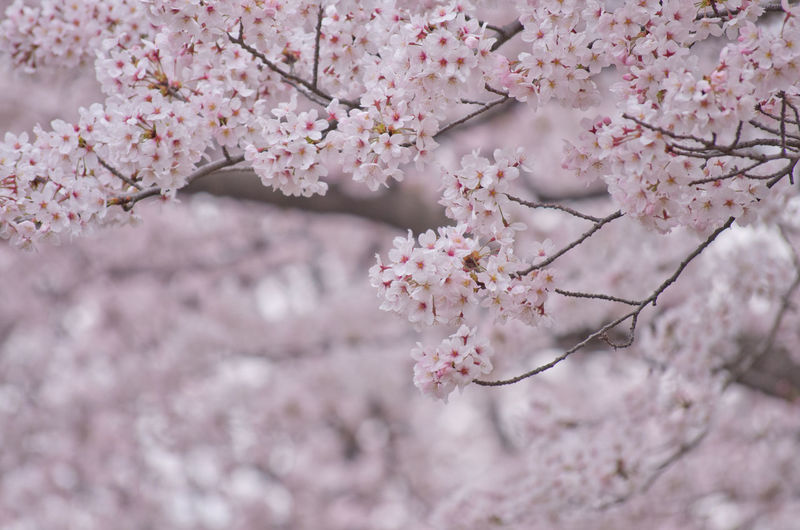 Blossom Cherry Blossom Cherry Tree Flower In Bloom Nature Pink Color Spring Springtime