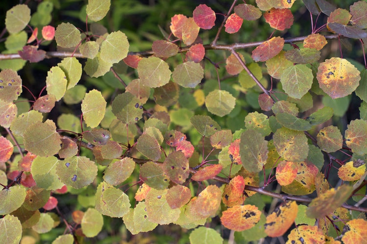 Amager Fælled Autumn Autumn colors Leaves🌿 Populus Tremula Urban Nature Aspen Beauty In Nature Bævreasp Close-up Leaf Leaves Nature No People Tree