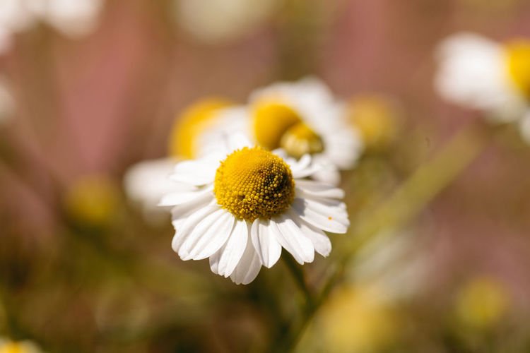 Chamomile flower herb called Matricaria recutita blooms in a botanical garden with a small aphid on the center. Beauty In Nature Botanical Chamomile Chamomile Flowers Close-up Daisy Day Flower Flower Head Flowers Fragility Freshness Garden Growth Herb Matricaria Recutita Nature No People Outdoors Pollen Yellow
