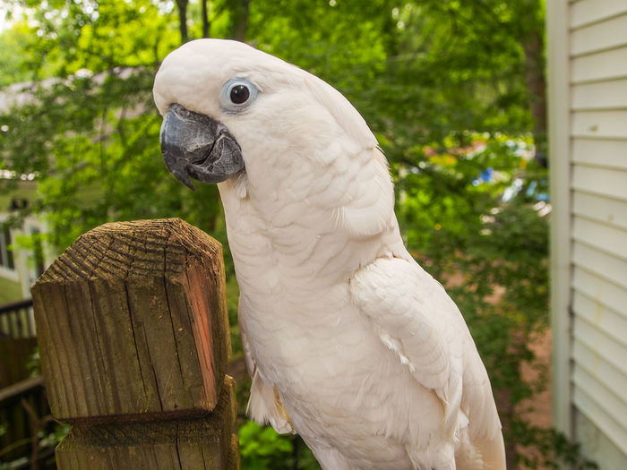 Clara the cockatoo Cockatoo Feathers Animal Themes Beak Bird Close-up Cockatoo Day Domestic Animals Exotic Pets Leafy No People One Animal Outdoors Parrot Perching Pets Portrait White Color