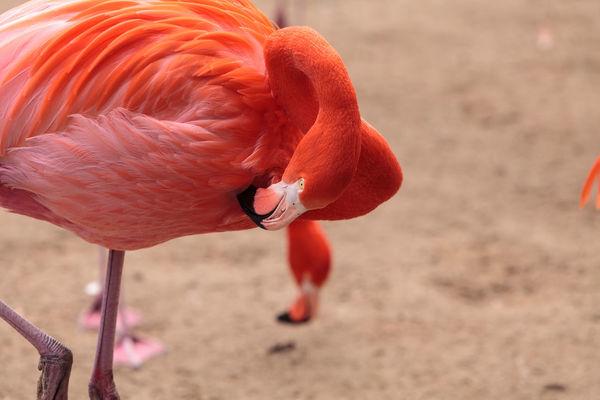 Pink Caribbean flamingo, Phoenicopterus ruber, in the middle of flock flamingos during breeding season. Animal Themes Animals In The Wild Avian Bird Caribbean Flamingos Day Feather  Flamingo No People Outdoors Phoenicopterus Ruber Pink Flamingo Pink Flamingos Wildbird