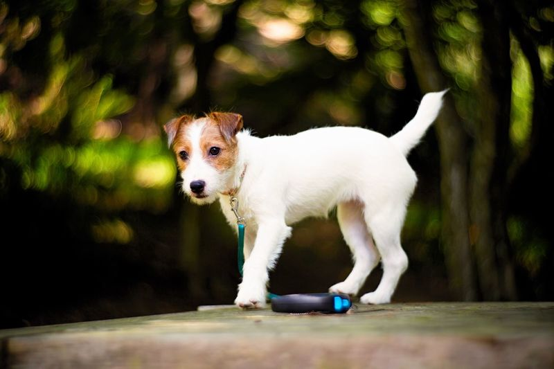 Bokeh Photography Bokeh One Animal Animal Themes Mammal Animal Domestic Canine Pets Dog Domestic Animals Vertebrate Day Portrait Looking No People White Color Standing Looking Away Full Length Outdoors Jack Russell Terrier