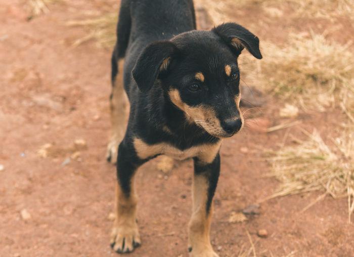 Brown Black Action Soil Selective Focus Travel Destinations Chikmagalur Karnataka Earth Nature Wild Raw Dry Travel Pets Pets Cute Puppy German Shepherd
