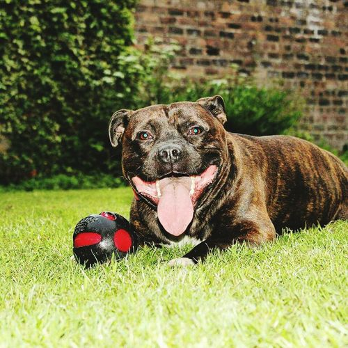 Dog One Animal Pets Grass Domestic Animals Sticking Out Tongue Outdoors Animal Themes Staffordshire Bull Terrier Staffysmile Smile Happydog EyeEmNewHere