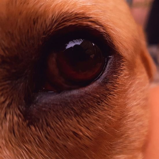Domestic Animals Eye Pets Animal One Animal Mammal Portrait Brown Dog Looking At Camera Close-up Eyelash Human Eye Eyesight Animal Themes Outdoors Day People Eyeball Pet Portraits Pet Photography  Eyes Reflection In Eye Labrador Scary The Week On EyeEm