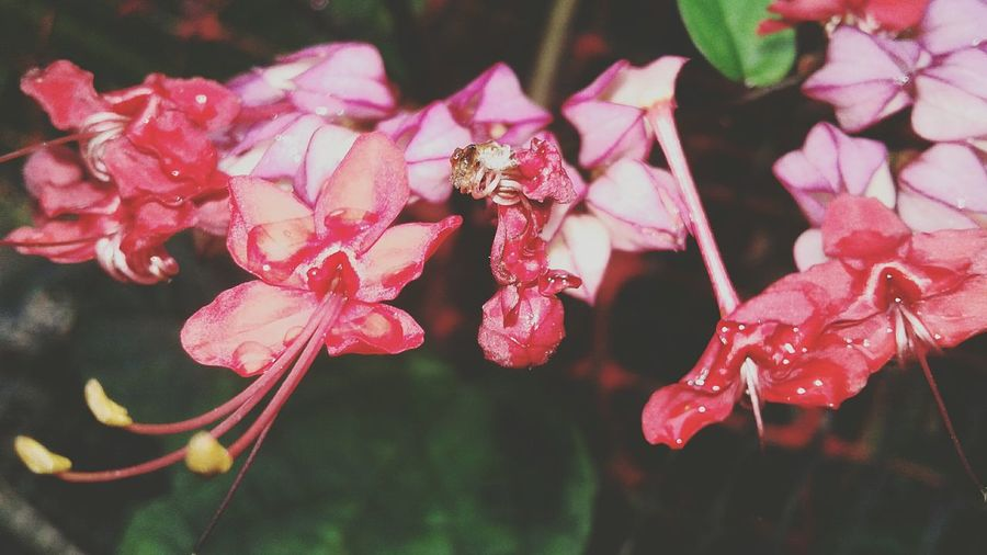 Flower Head Flower Pink Color Leaf Red Petal Butterfly - Insect Close-up Plant