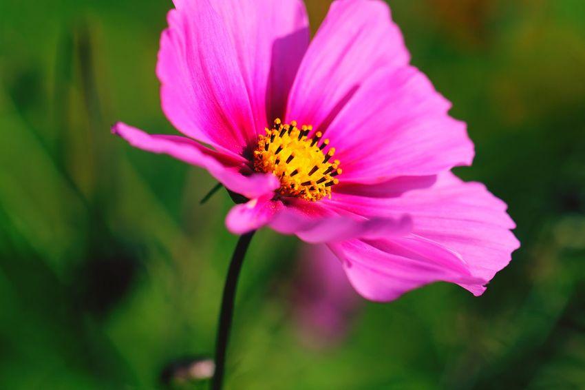 Cosmea Flower Head Cosmea Flower Head Flower Cosmos Flower Pink Color Beauty Petal Pollen Close-up Plant