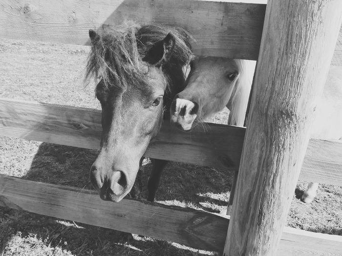 Taking Photos Check This Out EyeEm Gallery Peeking Out Country Living Horse Life Countryside Horse Photography  Horses Love Animals Love Horses Animal_collection Animal Photography Animals United States Unitedstates Animal Lover Peeking Through Black&white Monochrome Black And White