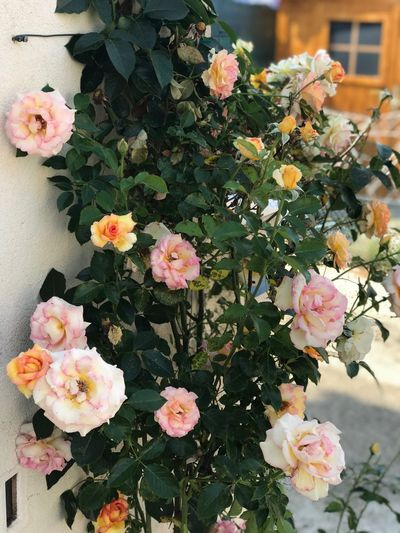 Roses No