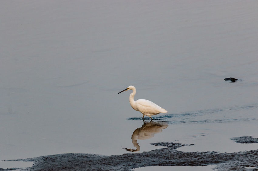Hebei Swimming Animal Themes Animal Wildlife Animals In The Wild Beidaihe Bird China Chinese Day Estuary Great Egret Gull Nature No People One Animal Outdoors Qinhuangdao Sea Seagull Sunset Wading Water