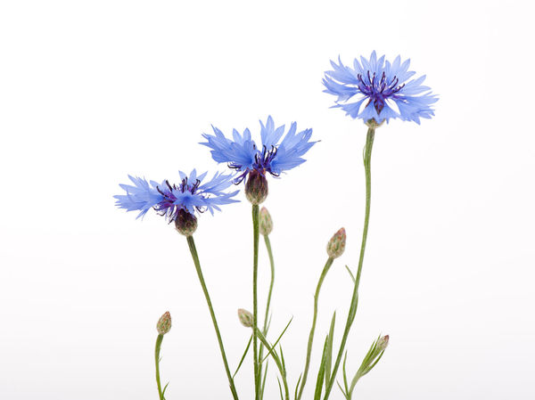Three blue cornflower flowers and buds on white background. Bachelor Button Bachelors Button Bloom Blooming Blossom Blue BlueBottle Bouquet Boutonniere Bud Buds Cornflower Cornflowers Cyani Flower Cyanus Flower Flowerhead Flowerheads Flowers Hurtsickle No People Plant Stem Weed White Background