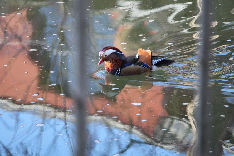 Close-Up Of Mandarin Duck Swimming On Water
