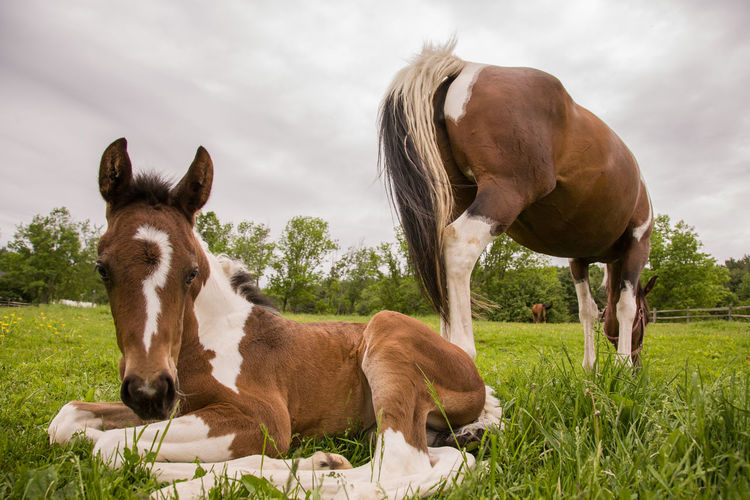 Animal Animal Family Animal Themes Animal Wildlife Cloud - Sky Day Domestic Domestic Animals Field Grass Group Of Animals Herbivorous Horse Land Livestock Mammal Nature No People Outdoors Pets Plant Two Animals Vertebrate