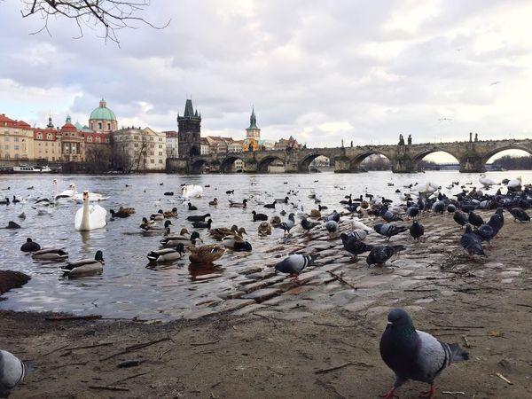 Bridge Animal Themes River Praga Travel Destinations No People Morning