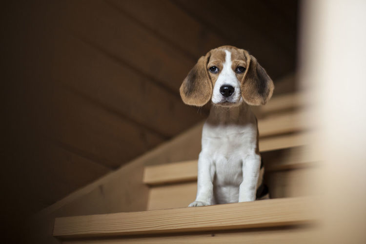 Cute little beagle puppy sitting on wooden staircase and watching into the camera. Animal Themes Beagle Cute Day Dog Domestic Animals Indoors  Looking At Camera Lop-eared Mammal No People One Animal Pets Portrait Sitting Staircase Wooden