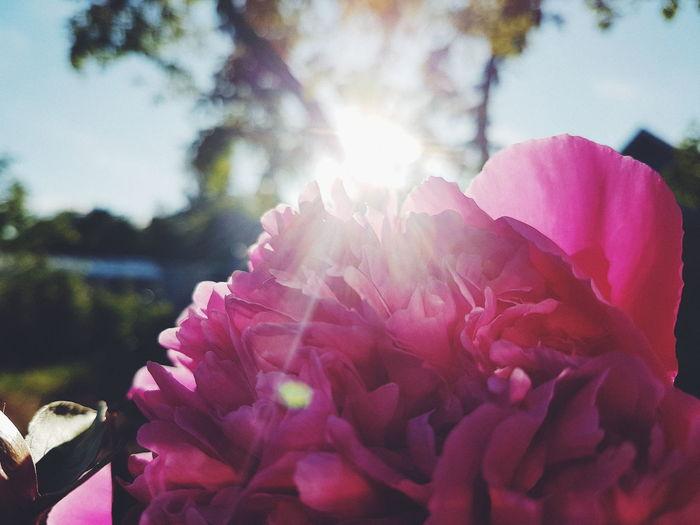 Flower Rose - Flower