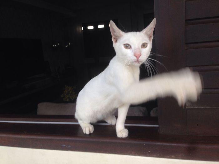 "/08/2018 - Olaf"" d joker =.) kKK Catwhite Gatobranco MyShoots PetsdoAri Cat Feline Looking At Camera"